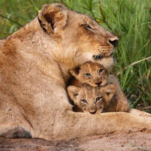 Luxury Travel Tours - Lions