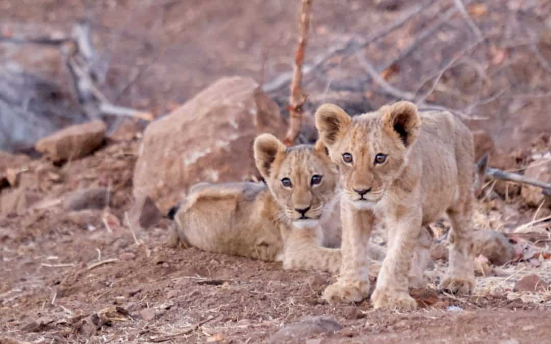 Story of Two Young Lion Cubs